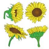 Vector иллюстрация солнцецвета Стоковые Изображения