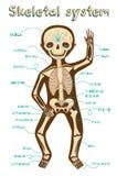 Vector иллюстрация шаржа человеческой скелетной системы для детей иллюстрация штока