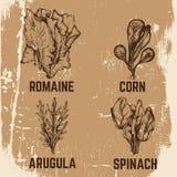 Vector иллюстрация шпината, romaine, мозоли, arugula Стоковые Изображения