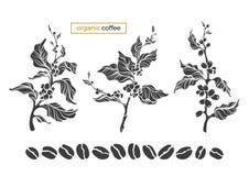 Vector комплект кофе дерева, разветвите, листья, фасоли иллюстрация штока