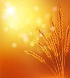 Vector предпосылка с ушами золота пшеницы и sunr Стоковое фото RF