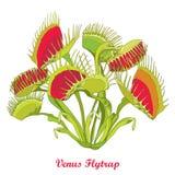 Vector чертеж muscipula Flytrap или Dionaea Венеры при открытая и близкая ловушка в красном цвете и зеленом цвете изолированная н иллюстрация вектора