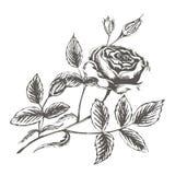 Vector эскиз иллюстрации розовых цветений на белом backgroun иллюстрация штока