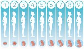 Vector этапы женщины беременности иллюстрации с плоскими силуэтами беременных женщин и реалистического человеческого зародышевого иллюстрация штока