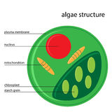 Vector algae structure. Vector illustration of algae structure with description stock illustration