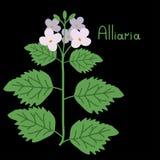Vector alliaria illustration Stock Photos