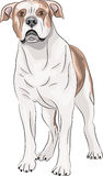 Vector. American Bulldog. Royalty Free Stock Photography