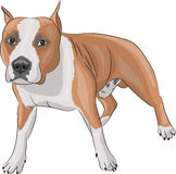 Vector american staffordshire terrier Royalty Free Stock Photo
