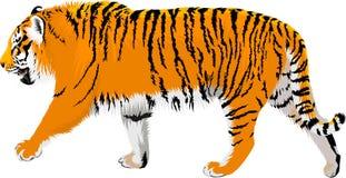 Vector Amur tiger illustration royalty free illustration