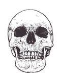 Vector anatómico del cráneo stock de ilustración