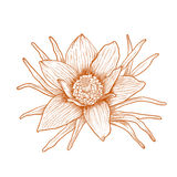 Vector anemone flower. Vector anemone flower in vintage engraving style Royalty Free Stock Photography
