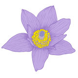 Vector anemone flower. Vector anemone flower in vintage engraving style (colored Royalty Free Stock Photos