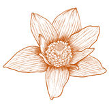 Vector anemone flower. Vector anemone flower in vintage engraving style Royalty Free Stock Photo