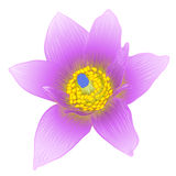 Vector anemone flower. Royalty Free Stock Photo