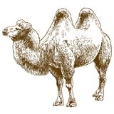 Engraving drawing illustration of camel. Vector antique engraving drawing illustration of camel isolated on white background Royalty Free Stock Images