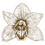 Engraving illustration of orchid flover. Vector antique engraving illustration of orchid flover isolated on white background Royalty Free Stock Photo