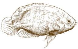 Engraving illustration of oscar fish. Vector antique engraving illustration of oscar fish isolated on white background Royalty Free Stock Photo