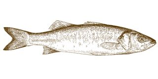 Engraving illustration of sea bass. Vector antique engraving illustration of sea bass fish isolated on white background Royalty Free Stock Images
