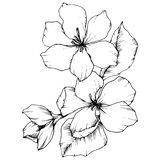 Vector Apple blossom floral botanical flower. Black and white engraved ink art. Isolated flowers illustration element. Vector Apple blossom floral botanical stock illustration