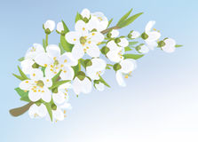 Vector apple tree blossoming branch  . Royalty Free Stock Photos
