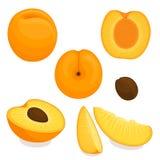 Vector apricot. Sliced, whole, half apple. Vector apricot. Set of whole, sliced, half of apricots isolated on white background. Illustration vector illustration