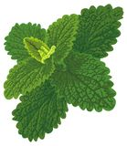 Vector art with nettle. This Nettle looks like melissa or mint Stock Image