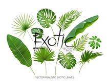 Vector as folhas exóticas tropicais, folhas realísticas da selva ajustadas isoladas no fundo branco Coleção em folha de palmeira
