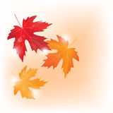 Vector autumn colored maple leaves on white background. Autumn colored maple leaves on white background stock illustration