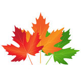Vector autumn colored maple leaves on white background. Autumn colored maple leaves on white background royalty free illustration