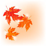 Vector autumn colored maple leaves on white background in grunge style. Autumn colored maple leaves on white background in grunge style stock illustration