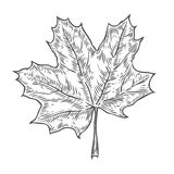 Vector autumn hand drawn leaf.  vector engraved objects. Detailed botanical illustrations. Oak, maple, chestnut leaf sketc Stock Photo