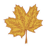 Vector autumn hand drawn leaf.  vector engraved objects. Detailed botanical illustrations. Oak, maple, chestnut leaf sketc. H. Vintage retro fall seasonal decor Royalty Free Stock Image