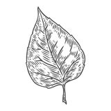 Vector autumn hand drawn leaf.  vector engraved objects. Detailed botanical illustrations. Oak, maple, chestnut leaf sketc. H. Vintage retro fall seasonal decor Stock Photo