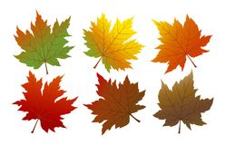 Vector autumn maple leaves on white background Royalty Free Stock Images