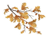 Vector autumn oak leaves branch Royalty Free Stock Image