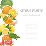 Vector background with citrus fruits on white background. Seamless vertical citrus element Royalty Free Stock Images