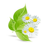 Vector background with daisies and green leaves. The  vector background with daisies and green leaves Royalty Free Stock Images