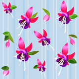 Vector Background with flower fuchsia. Fuchsia flower and buds on a blue background Stock Image