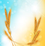 Vector background with gold ears of wheat and sun  Stock Photography