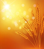 Vector background with gold ears of wheat and sunr. The vector background with gold ears of wheat and sunrays Royalty Free Stock Photo