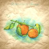 Vector background with hand drawing mandarin Stock Photography