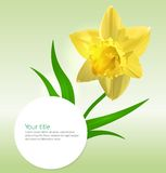 Vector background with Narcissus flower Stock Images