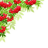Vector background with rowan branches. Stock Photos