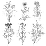 Vector background set with drawing wild plants, herbs and flowers, monochrome botanical illustration in vintage style, natural flo. Ral template. Anis, arnica royalty free illustration