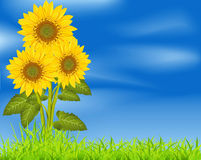 Vector background with three sunflowers royalty free illustration