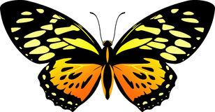 Vector Balck and orange butterfly Papilio zagreus Royalty Free Stock Photo