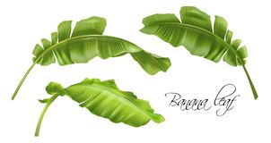 Vector banana tropic leaves realistic images set. Vector realistic illustration set of tropical banana leaves isolated on white. Exotic botany design element for royalty free illustration