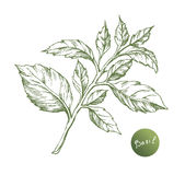 Vector basil hand draw Royalty Free Stock Image