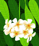 Vector of beautiful flower in asia, white leelawadee flower. On leaf background Stock Images