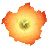 Vector beautiful gladiolus flower. Vector beautiful colored gladiolus flower with drops Stock Photography